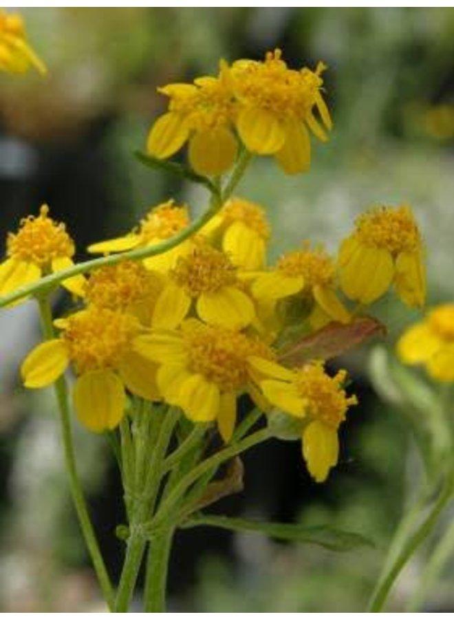 Eriophyllum confertiflorum - Golden Yarrow (Seed)