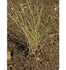 Aristida purpurea - Purple Three Awn (Seed)