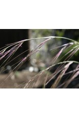 Aristida purpurea - Purple Three Awn (Seed)