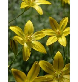 Bloomeria crocea - Golden Star (Seed)