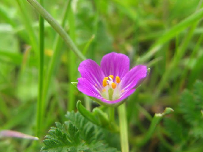 Calandrinia menziesii - Redmaids (Seed)