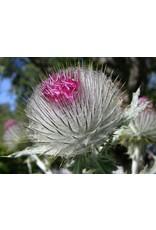 Cirsium occidentale - Cobweb Thistle (Seed)