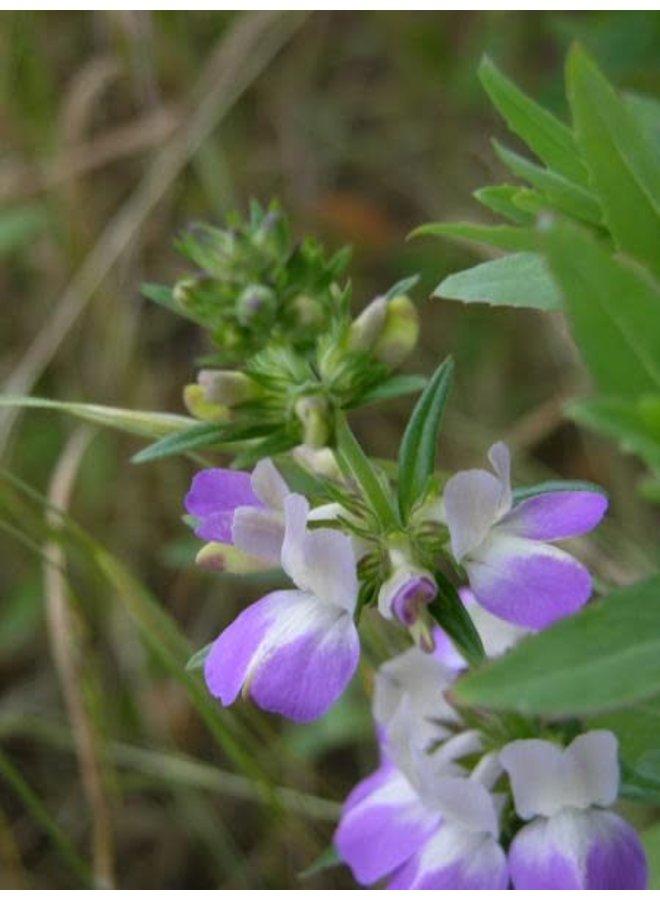 Collinsia heterophylla - Chinese Houses (Seed)