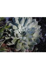 Dudleya pulverulenta - Chalk Dudleya (Seed)
