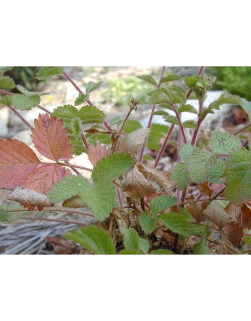 Drymocallis glandulosa - Sticky Cinquefoil (Seed)