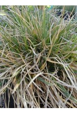 Deschampsia cespitosa - Tufted Hairgrass (Seed)