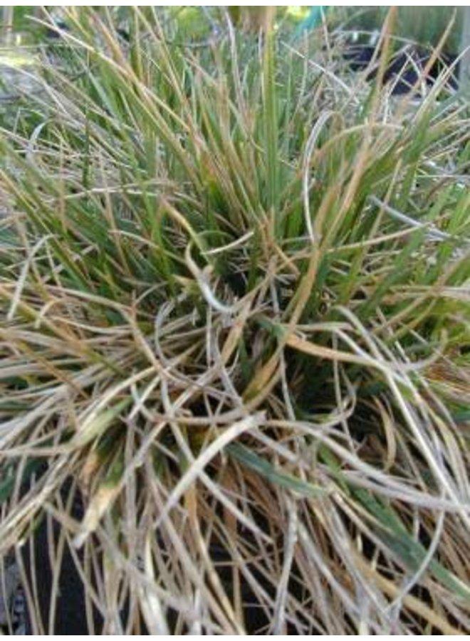 Deschampsia cespitosa - Tufted Hairgrass (Seed)