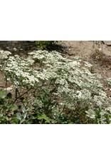 Eriogonum giganteum - St. Catherine's Lace (Seed)