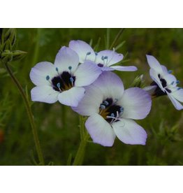 Gilia tricolor - Bird's Eye Gilia (Seed)