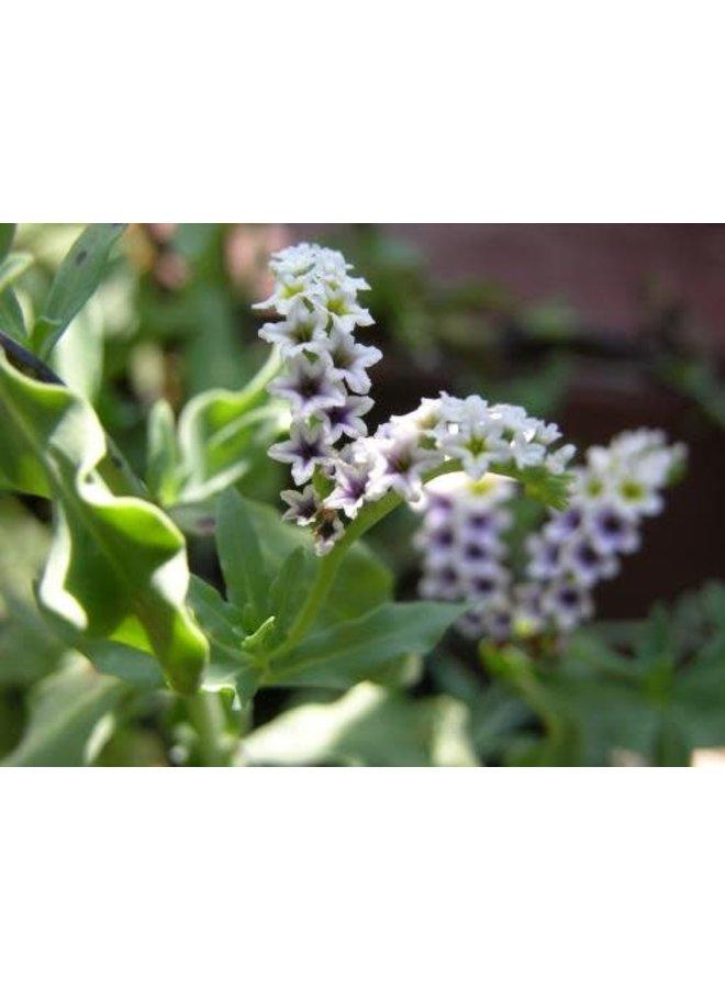Heliotropium curassavicum - Salt Heliotrope (Seed)
