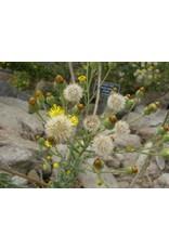 Heterotheca grandiflora - Telegraph Weed (Seed)