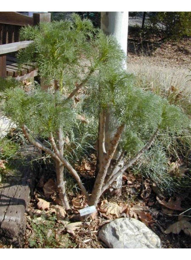 Leptosyne gigantea - Giant Coreopsis (Seed)