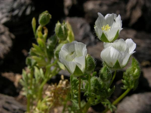 Limnanthes alba - Meadow Foam (Seed)