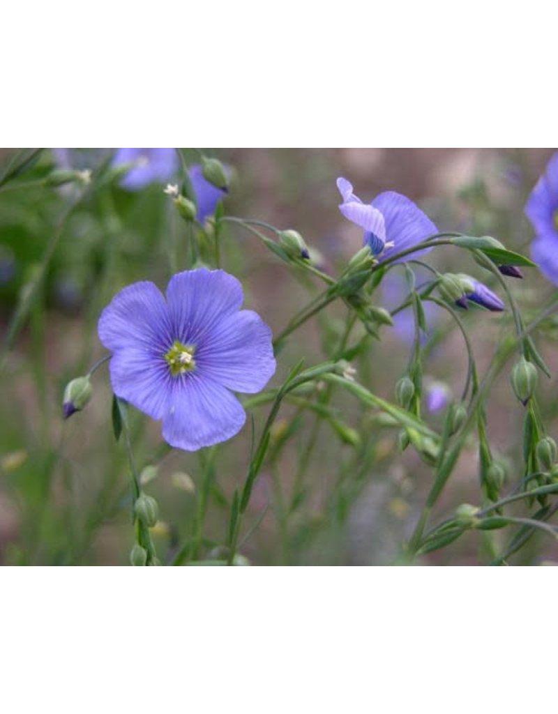 Linum lewisii - Blue Flax (Seed)
