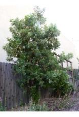 Lyonothamnus floribundus - Catalina Ironwoood (Seed)
