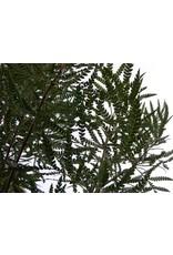 Lyonothamnus floribundus ssp. asplenifolius - Santa Cruz Island Ironwoood (Seed)