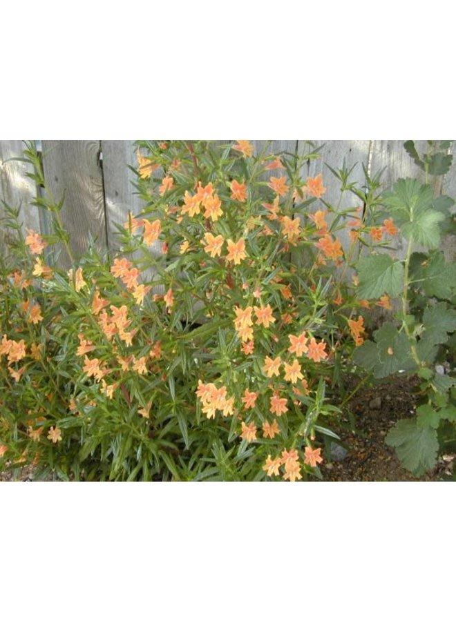 Diplacus longiflorus - Bush Monkeyflower, Sticky Monkeyflower (Seed)