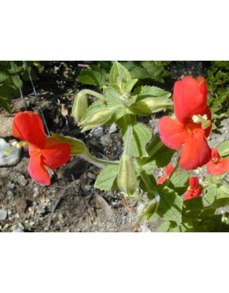 Erythranthe cardinalis - Cardinal Monkey Flower (Seed)
