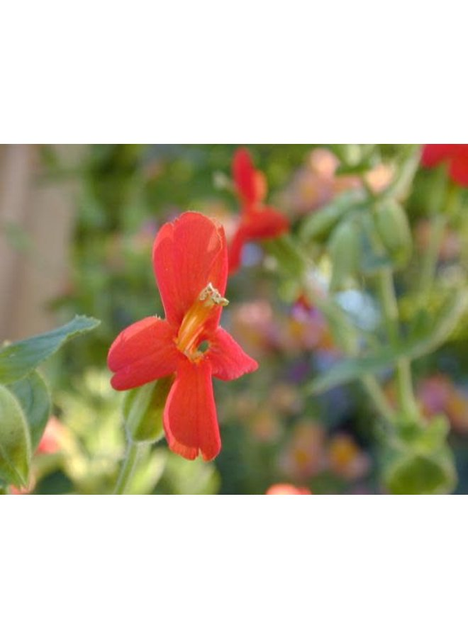 Erythranthe cardinalis - Scarlet Monkeyflower (Seed)