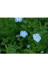 Nemophila menziesii - Baby Blue Eyes (Seed)