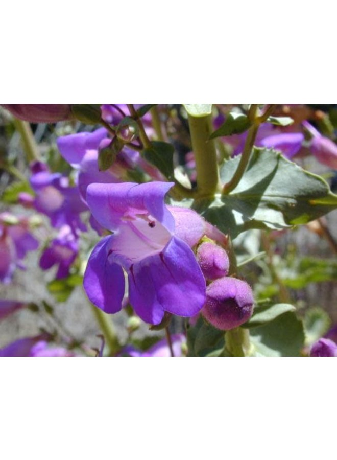 Penstemon spectabilis - Showy Penstemon (Seed)