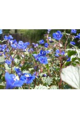 Phacelia campanularia - Desert Canterbury Bells (Seed)