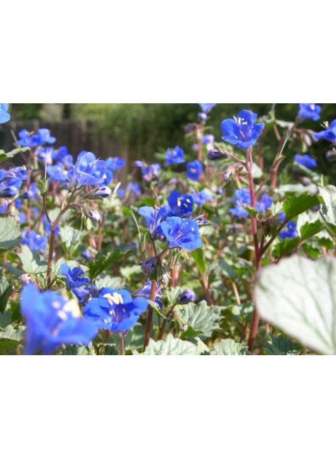 Phacelia campanularia - Desert Bluebells (Seed)