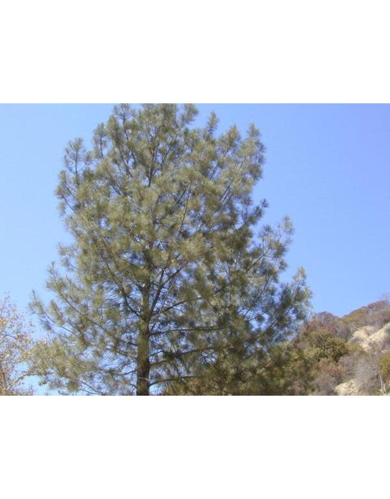Pinus torreyana - Torrey Pine (Seed)