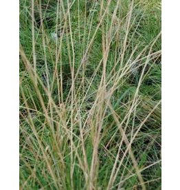 Stipa lepida - Foothill Needegrass (Seed)