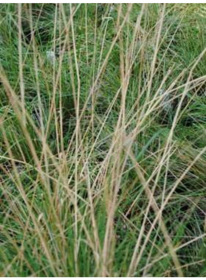 Stipa lepida - Foothill Needlegrass (Seed)