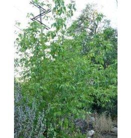 Acer negundo - Box Elder (Seed)