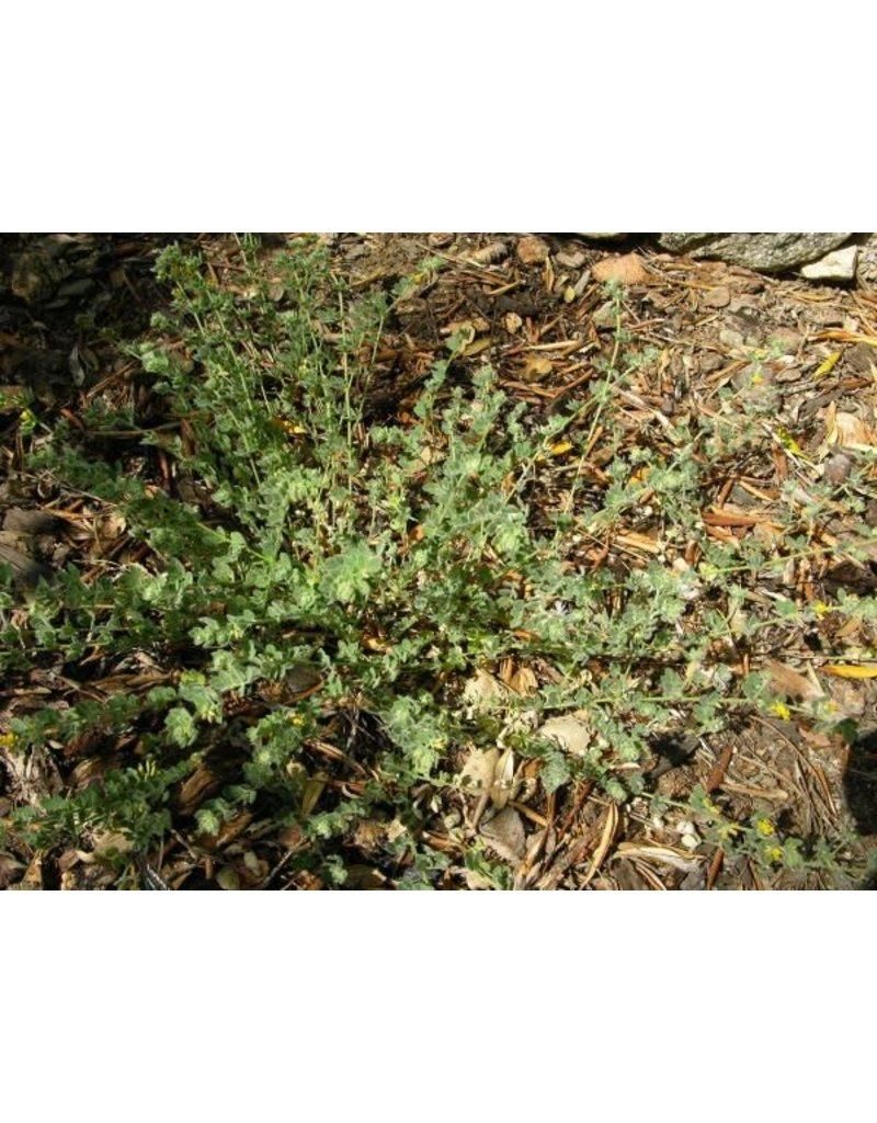 Acmispon heermanii - Heermann's Lotus (Seed)