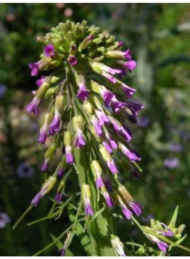 Boechera pulchra - Prince's Rockcress, Beautiful Rockcress (Seed)