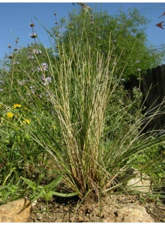 Stipa hymenoides - Indian Ricegrass (Seed)