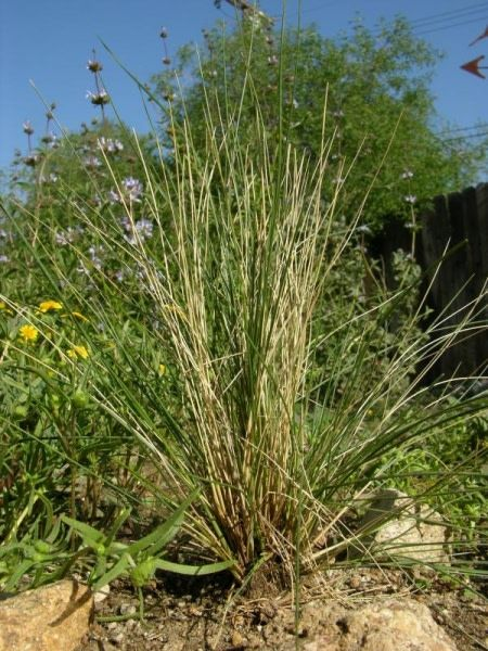 TPF Stipa hymenoides - Indian Ricegrass (Seed)