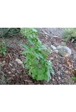 TPF Scrophularia californica - California Figwort (Seed)