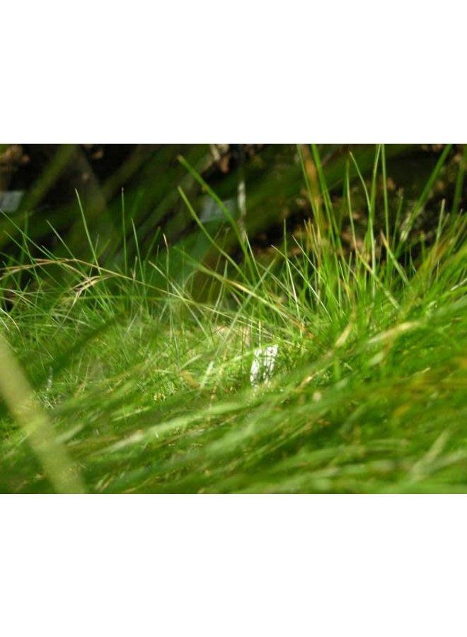 Festuca rubra 'Molate' - Molate Creeping Red Fescue (Seed)