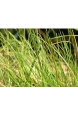 Festuca rubra 'Molate' (Seed)