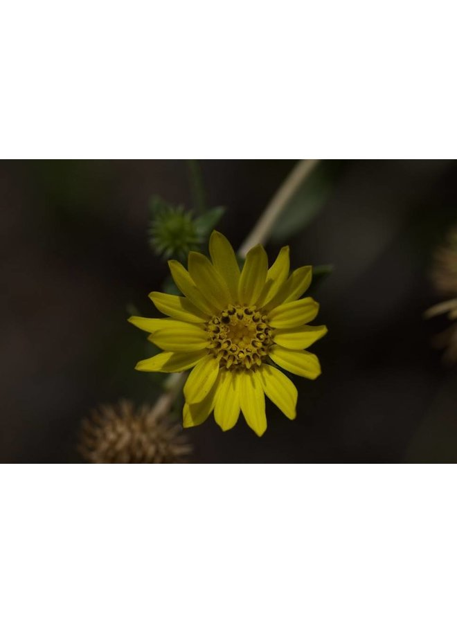 Grindelia camporum - Gum Plant (Seed)