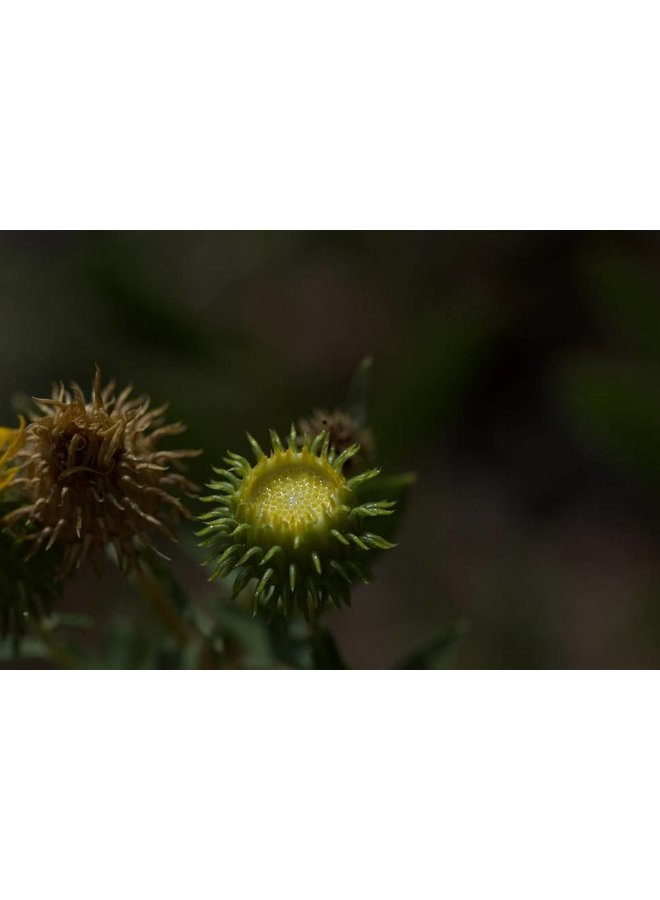 Grindelia camporum - Common Gumplant, Great Valley Gumweed (Seed)
