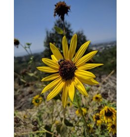 TPF Helianthus annuus - Common Sunflower (Seed)