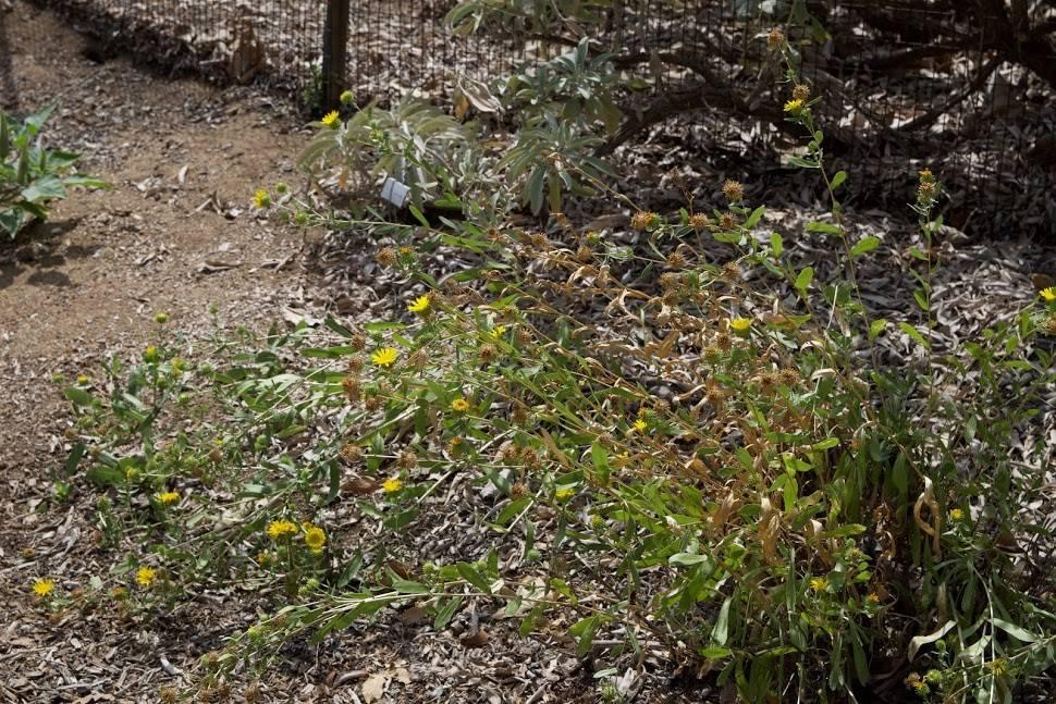 TPF Grindelia camporum - Gum Plant (Seed)