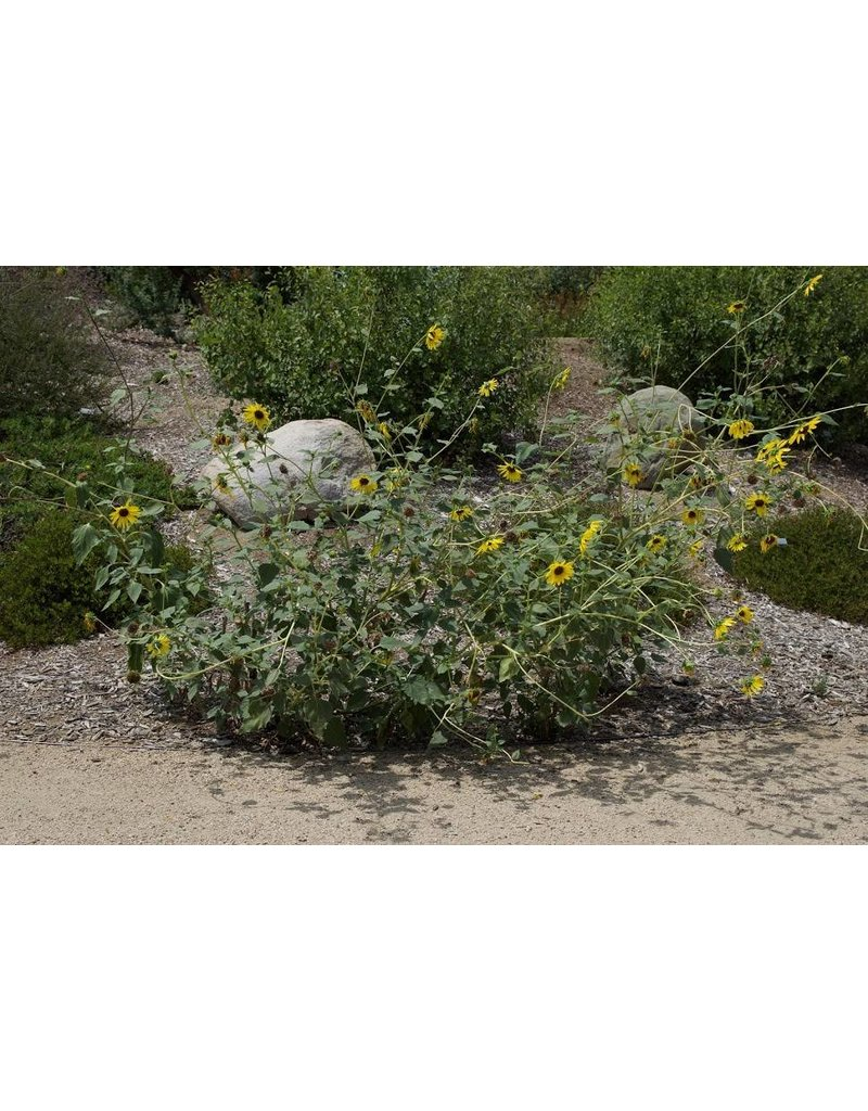 TPF Helianthus annuus - Common Sunflower (Seed)
