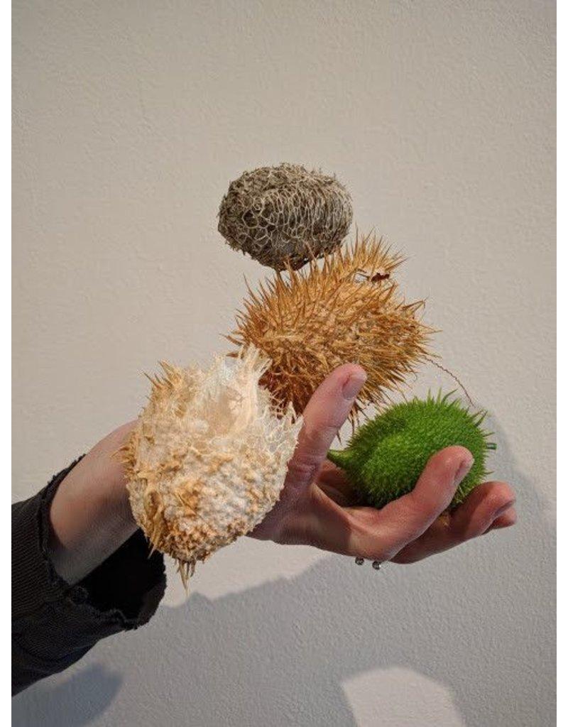 TPF Marah macrocarpa - Wild Cucumber (Seed)