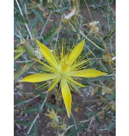 TPF Mentzelia laevicaulis - Giant Blazing Star (Seed)