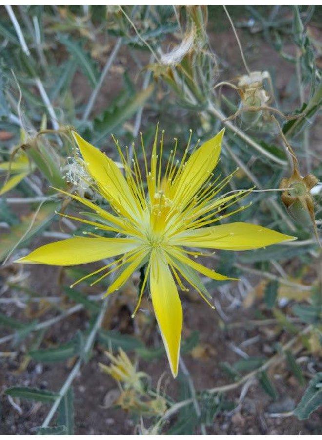 Mentzelia laevicaulis - Blazing Star (Seed)