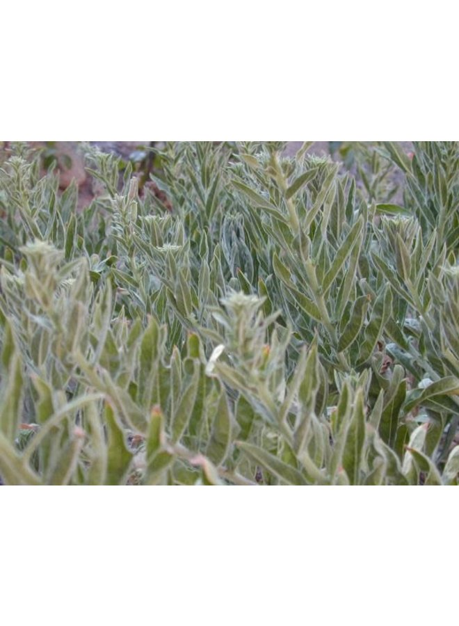 Oenothera elata ssp. hookeri - Hooker's Evening Primrose (Seed)