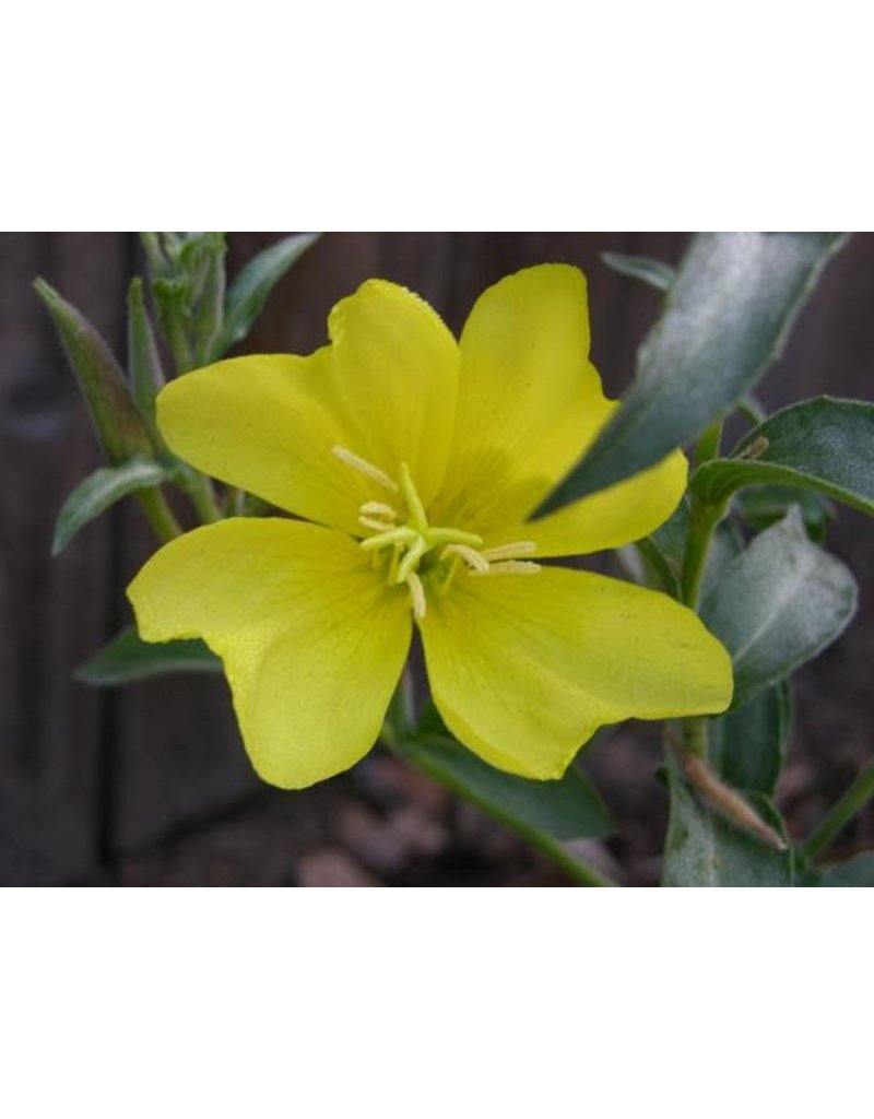 TPF Oenothera elata ssp. hookeri - Hooker's Evening Primrose (Seed)
