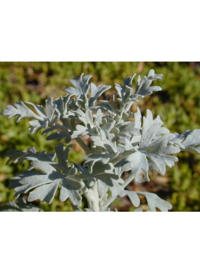 Perityle incana - Guadalupe Island Rock Daisy (Seed)