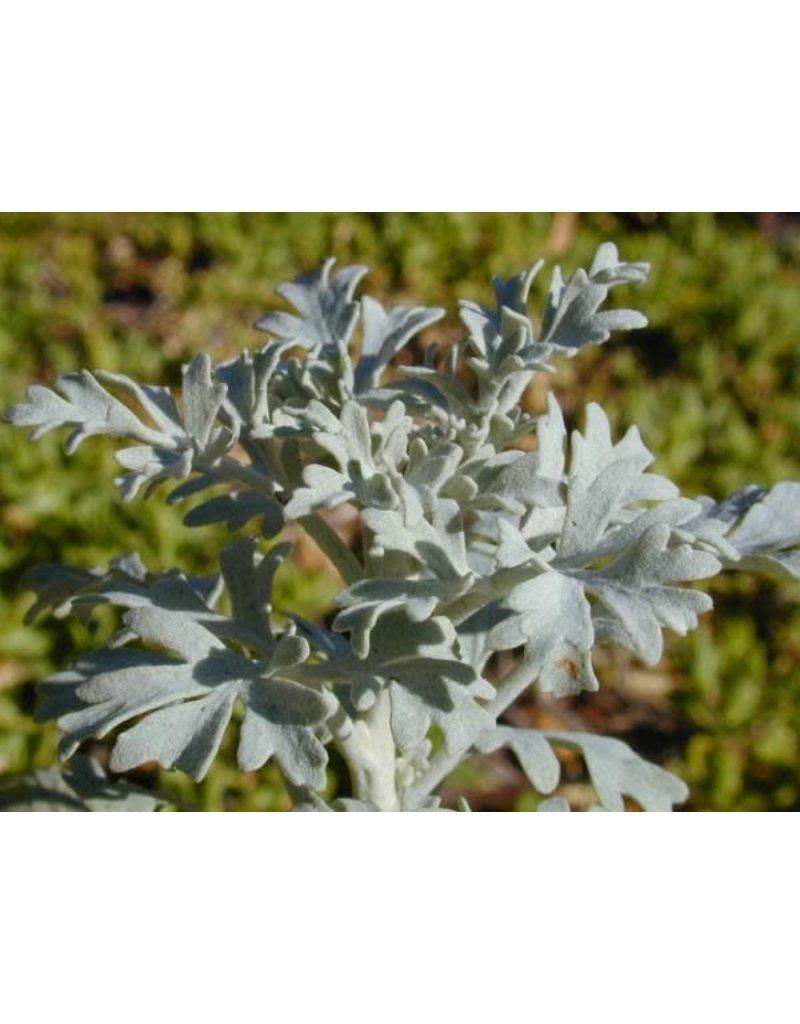 TPF Perityle incana - Guadalupe Island Rock Daisy (Seed)